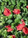Flores rojas del ‹de Hibiscus†Foto de archivo