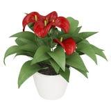 Flores rojas del Anthurium Foto de archivo libre de regalías