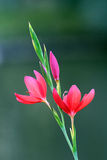 Flores rojas del azafrán fotografía de archivo libre de regalías