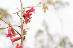 Flores rojas del bidwillii australiano del Brachychiton en primavera Imágenes de archivo libres de regalías
