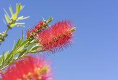 Flores rojas del bottlebrush de Callistemon del australiano Fotografía de archivo libre de regalías