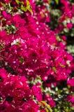 Flores rojas del Bougainvillea Imágenes de archivo libres de regalías