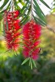 Flores rojas del callistemon Fotos de archivo libres de regalías