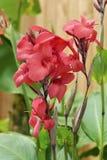 flores rojas del canna fotografía de archivo libre de regalías