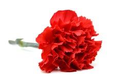 Flores rojas del clavel Fotografía de archivo libre de regalías