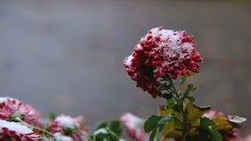 Flores rojas del crisantemo con las hojas verdes debajo de la nieve La primera nieve, otoño, primavera, invierno temprano Cámara  almacen de metraje de vídeo