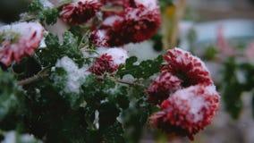 Flores rojas del crisantemo con las hojas verdes debajo de la nieve La primera nieve, otoño, primavera, invierno temprano Cámara  metrajes