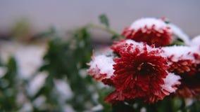 Flores rojas del crisantemo con las hojas verdes debajo de la nieve La primera nieve, otoño, primavera, invierno temprano Cámara  almacen de video