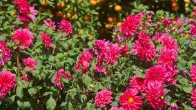 Flores rojas del crisantemo del primer por los árboles de mandarín almacen de video