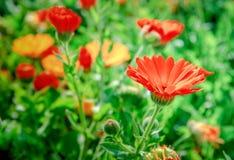 Flores rojas del crisantemo o de las margaritas Imagen de archivo