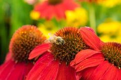 Flores rojas del Echinacea con una abeja Imagenes de archivo
