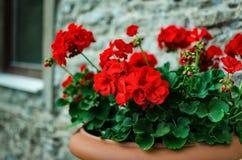 Flores rojas del geranio del jardín en pote foto de archivo