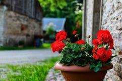 Flores rojas del geranio del jardín en pote Imágenes de archivo libres de regalías