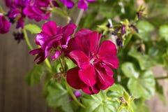 Flores rojas del geranio en la floración. Fotografía de archivo