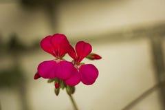 Flores rojas del geranio en rama Fotos de archivo libres de regalías