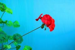 Flores rojas del geranio en un fondo azul fotografía de archivo libre de regalías