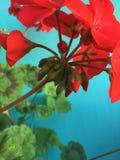 Flores rojas del geranio en un fondo azul imágenes de archivo libres de regalías