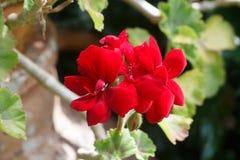 Flores rojas del geranio foto de archivo