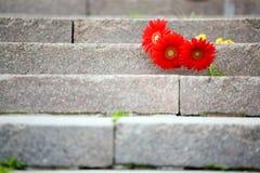 Flores rojas del gerbera Foto de archivo libre de regalías