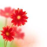 Flores rojas del gerbera aisladas en blanco Fotografía de archivo libre de regalías