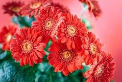 Flores rojas del Gerbera con descensos de rocío Foto de archivo libre de regalías