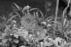 Flores rojas del gerbera con los pétalos rojos Fotografía de archivo libre de regalías