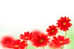 Flores rojas del Gerbera en blanco Fotografía de archivo