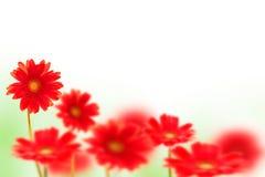 Flores rojas del Gerbera en blanco Imagen de archivo libre de regalías