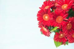 Flores rojas del gerbera en el fondo blanco Imagen de archivo libre de regalías