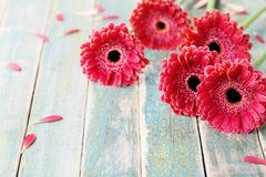 Flores rojas del gerbera en fondo de madera del vintage Tarjeta de felicitación del día de la madre o de la mujer Estilo rústico Imagen de archivo