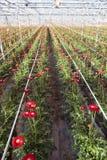 Flores rojas del gerbera en invernadero holandés Foto de archivo libre de regalías