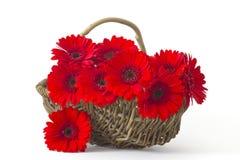 Flores rojas del gerbera en una cesta Fotografía de archivo libre de regalías