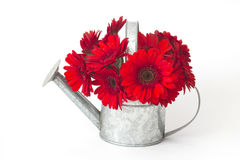 Flores rojas del gerbera en una regadera Imagen de archivo libre de regalías