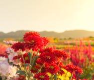 Flores rojas del gerbera o del crisantemo en jardín Fotos de archivo