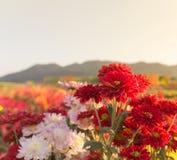 Flores rojas del gerbera o del crisantemo en jardín Imagenes de archivo