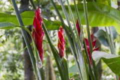 Flores rojas del heliconia fotos de archivo