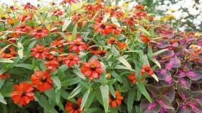 Flores rojas del jardín Imagen de archivo libre de regalías