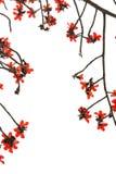 Flores rojas del kapoc Fotos de archivo libres de regalías