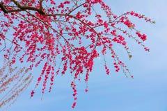 Flores rojas del melocotón imagen de archivo