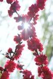 Flores rojas del melocotón fotos de archivo