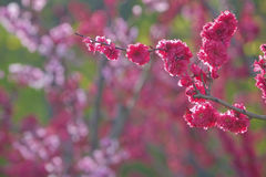 Flores rojas del melocotón imagen de archivo libre de regalías