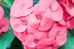 Flores rojas del Poi Sian del primer fotos de archivo