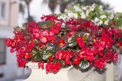 Flores rojas del pote en la calle Foto de archivo