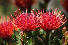 Flores rojas del protea Fotos de archivo libres de regalías