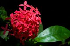 Flores rojas del punto, textura roja de las flores Imagen de archivo libre de regalías