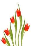 Flores rojas del tulipán Foto de archivo libre de regalías