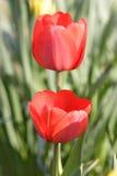 Flores rojas del tulipán Imagen de archivo libre de regalías
