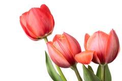 Flores rojas del tulipán aisladas en un fondo blanco Imágenes de archivo libres de regalías
