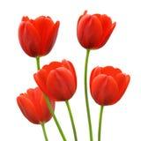 Flores rojas del tulipán en resorte Foto de archivo libre de regalías