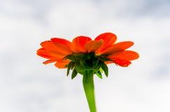 Flores rojas del Zinnia en el jardín Imagenes de archivo